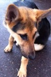 Young female German Shepherd found in St Lukes