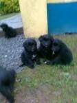 Retriever/Collie X Puppy