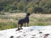 Black wire-haired terrier lost in Macroom