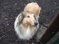Rough collie found in Kilkenny