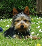 Yorkie lost in Macroom