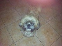 Male Shih Tzu found in Blackpool