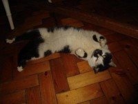 Black/white cat found in Berrings