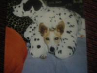 Jack Russell lost in Clonakilty