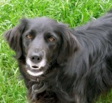 Male collie-retriever X missing from Castleconnel