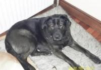 Lab/German Shepherd X lost in Dooradoyle