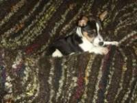 Female tricolour pup lost/stolen in Ballinadee, Kinsale