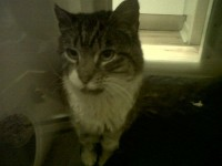 Tabby and white cat found in Crossbarry