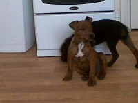 Male Brindle Terrier pup lost in Clonmult, Dungourney