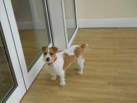Jack Russell/Wire-Haired Terrier mix missing from Cloyne