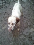 Female setter type found in Midleton