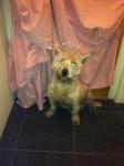 Male Westie found in Donnybrook