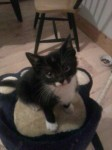 Black and white kitten lost in Ballincollig
