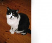 Male black and white cat lost in Ballinlough