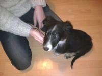 Male Sheepdog-Corgi X found in Cobh