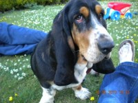Female Basset hound lost in Kilbrin